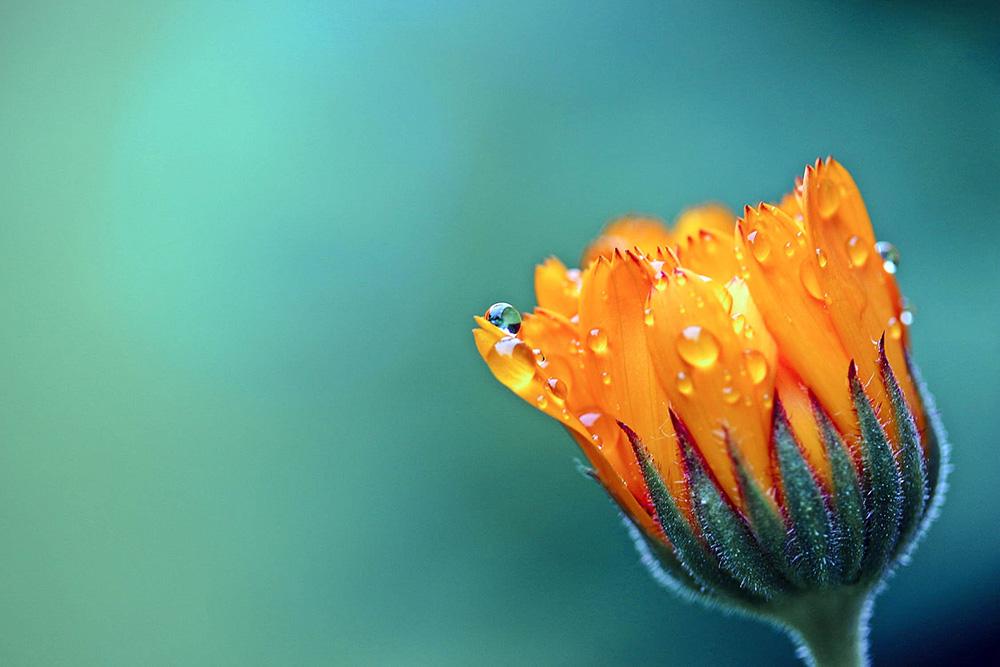 marigold-calendula-orange-blossom-158507.